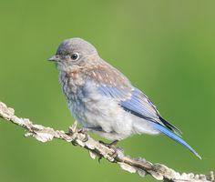 Eastern Bluebird ( baby) by Elizabeth  E.