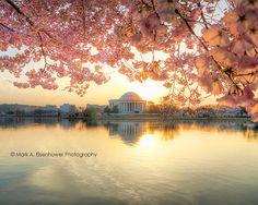 Cherry Blossom Photography Washington DC Print Photography