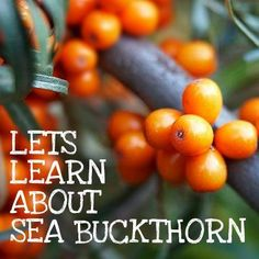 Sea Buckthorn oil can help skin damage from psoriasis, eczema & can help acne & rosacea Rosacea Remedies, Acne Rosacea, Acne Skin, Oily Skin, Natural Acne Treatment, Eczema Causes, Eczema Psoriasis