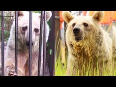 3 Elderly Bears Finally Get a Taste of Freedom After Living in a Roadside Zoo for 20 Years! Freedom Video, Gaucho, Animal Magnetism, Extinct Animals, Big Bear, Cute Gif, Animal Welfare, My Animal, Animal Kingdom