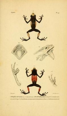 v.3 [Atlas] - Erpétologie générale, ou, Histoire naturelle complète des reptiles / - Biodiversity Heritage Library