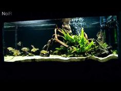 Loose Amazon Biotope Tropical Fish Forums