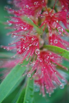 ~~Bottlebrush flowers ornamented with rain drops one steamy tropical morning by jungle mama~~