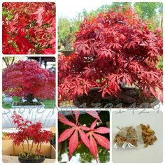 [Visit to Buy] Promotion! 20pcs Toronto Maple leafs seeds Fire Maple Tree Seeds Red Maple Mini Bonsai Plants DIY Home Garden Free shipping . #Advertisement