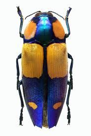 This is also another example of complimentary(ish) colours in nature. The metallic blue and yellowish orange colour provide great contrast with each other.