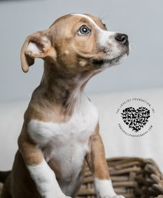 Check out Rose's profile on AllPaws.com and help her get adopted! Rose is an adorable Dog that needs a new home. https://www.allpaws.com/adopt-a-dog/dachshund-mix-pit-bull-terrier/6382271?social_ref=pinterest