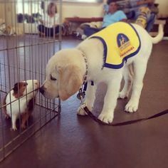 A little puppy socialization at Canine Companions for Independence.