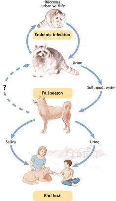 Summer Brings Leptospirosis Cycle Home