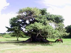 Horse under a silk cotton tree (ceiba) at Vieques, Puerto Rico.  © JGRR 2006
