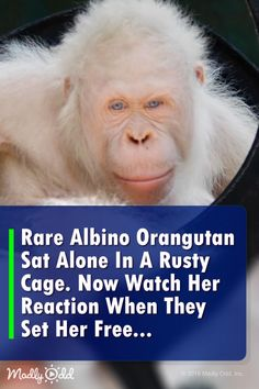 Alba the albino orangutan is released into the jungle after rescue and rehabilitation. Rare Albino Orangutan Sat Alone In A Rusty Cage, But Watch Her Beautiful Reaction When They Set Her Free Less Borneo Orangutan, Orangutan Monkey, Orangutans, Animals Of The World, Animals And Pets, Funny Animals, Crazy Funny Videos, Funny Animal Videos, Albino Gorilla