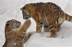 Tiger cubs - let's play | Flickr - Photo Sharing!