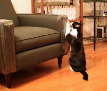 Cats scratch furniture! Tips for prevention at http://www.petproblemsolved.com.au/cat-scratching