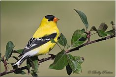 Bobby Perkins American Goldfinch  This beautiful male American Goldfinch