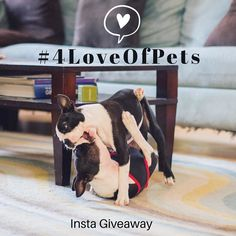 Bitey face is our love language. #gremlins  #weplaythisallday #bffs4lyfe #codependentfrombirth . Our friend @stellathefrenchiebebe has put together a fantastic  contest. INSTA GIVEAWAY. Celebrate the love for your pet! We will be giving away 5 AWESOME Gift Baskets (EACH one is valued at $400). In addition 3 lucky winners will be selected for the Featured Pet Award - to be featured on our Vendors social media or website.  EACH PRIZE GIFT BASKET INCLUDES: $100 Kriser's Natural Pet Store Gift…
