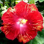 Exotic Hibiscus 'Raging Bull'