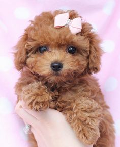 Toy Poodle Puppies are the kind I've wanted forever!
