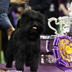 Sky, a wire fox terrier, won Best In Show in 2014, succeeding Banana Joe, an affenpinscher who won the year before. | German Shorthaired Pointer CJ Wins Best In Show At Westminster
