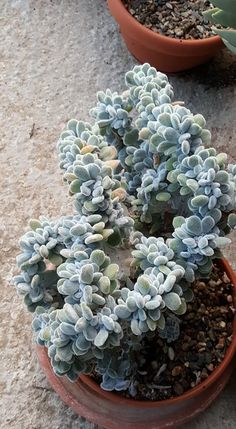 Echeveria pulvinata cv.frosty crestata