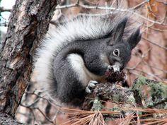 Abert's Squirrel (Sciurus aberti)