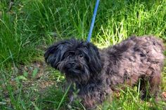 RTO SAFE - Staten Island Center SPARK - A1001817 NEUTERED MALE, BLACK, CAIRN TERRIER MIX, 8 yrs OWNER SUR - ONHOLDHERE, HOLD FOR DOH-HB Reason DOHREQUEST Intake condition EXAM REQ Intake Date 10/27/2014, From NY 10314, DueOut Date 11/06/2014, https://www.facebook.com/Urgentdeathrowdogs/photos/a.904317999581080.1073743292.152876678058553/814274481918766/?type=3&theater