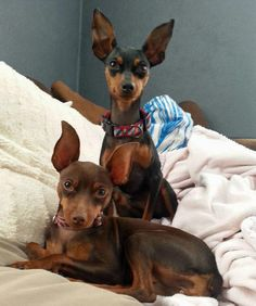 Charlie the Miniature Pinscher with sister Coco