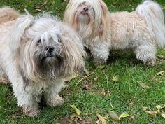 #lhasaapso Lhasa Apso, Dogs, Animals, Animales, Animaux, Pet Dogs, Doggies, Animal, Animais