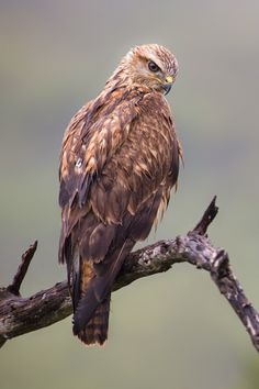 Photograph Raptor Portrait by Mario Moreno on 500px