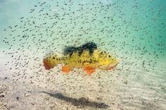 Fry of a Peacock bass (Cichla ocellaris) hover around their mom for protection against predators, South Florida, USA.  ©Michael O'NEILL