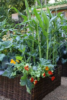 sweetcorn and naturtiums growing in a raised vegetable bed.