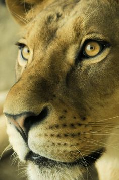 Find images and videos about animal, lion and lioness on We Heart It - the app to get lost in what you love. Lion And Lioness, Lion Of Judah, Beautiful Cats, Animals Beautiful, Animals And Pets, Cute Animals, Lioness Tattoo, Lion Love, Majestic Animals