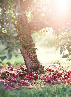 I love what this picture looks like and the colour of itI love apples and apple trees! The sun shining through is pretty cool. I love photos og cool stuff and photgraphy.