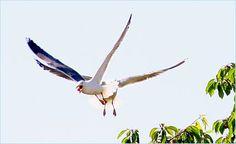 Und da wird der Möwe die Kirsche wieder abgejagt! Wie gewonnen, so zerronnen... Bird, Animals, Kinds Of Birds, Cherry, Animales, Animaux, Birds, Animal, Animais