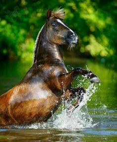 Look at the eye, this horse is spooked. This might be his first time in the water. When they are accustomed to it they love it..