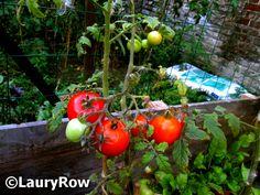 Le 3/09/2016 Plantation de tomates (chez ma soeur) / ©LauryRow