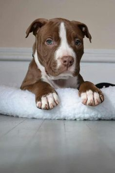 American Pit Bull Terrier Puppy Dog Puppies Hound Dogs Pitbull Pittie #pitbull #pitbulls