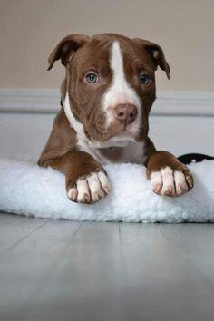 American Pit Bull Terrier Puppy Dog Puppies Hound Dogs Pitbull Pittie #pitbull #pitbulls