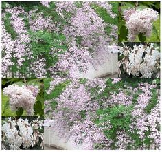 Wolf's Lilac  Syringa wolfii Seeds  FOOT LONG by ALLooABOUTooSEEDS