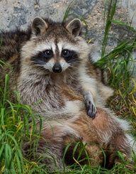 Mapache by Luis  de la Fuente Sánchez, raccoon