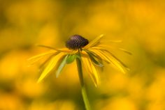 Black eyed susan.  By MyGardenSchool Flower Photography Tutor - Sue Bishop.  To learn more about flower photography - study online with Sue:  http://www.my-garden-school.com/course/flower-photography/
