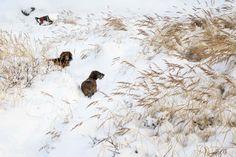 Ronja and Alberth - ruhåret og langhåret gravhund - wirehaired and longhaired dachshunds