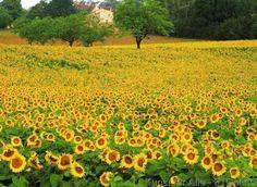 Dordogne, Saisonal, Sonnenblumen, Natürlicher Hintergrund, Plantagen