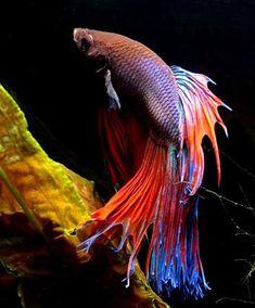 Siamese Fighting Fish ... looks exactly like my Orpheus :) Beautiful!