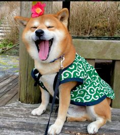 Shiba Inu Berry is so handsome in his outfit. He looks like such a happy Doge!