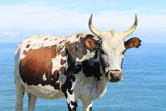 Nguni cow on the Wild Coast Types Of Farming, Cow Art, Farm Yard, Livestock, Pet Portraits, Cattle, Farm Animals, Painting Inspiration, Pet Birds