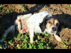 12/15/16 -PLS HELP -Dog with two broken legs crawls over rocks for a week seeking help. Plea...