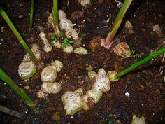 Секреты выращивания имбиря  Итак, имбирь растет повсюду, но при одном условии – длительном обеспечении высокой температурой, достаточной влажности воздуха, в полутени (жаркие прямые лучи губительны для культуры), без сквозняков и сильного ветра.