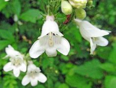 WHITE or FOXGLOVE BEARDTONGUE: (Penstamon digitalis).  Photographed June 9, 2017 at the Wildflower Reserve at Raccoon Creek State Park.