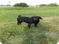 Pictures of *SHADOW a Labrador Retriever Mix for adoption in Austin, TX who needs a loving home.