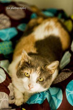 Daisy * Cat • Domestic Short Hair • Adult • Female • Large Capital Area Animal Welfare Society (CAAWS) Baton Rouge, LA