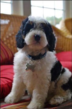 RRE Tribe & You: Paddington, the SpringerDoodle Dog